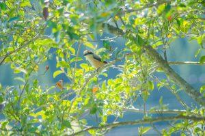 里山 東峰村の野鳥