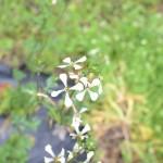 ルッコラの花