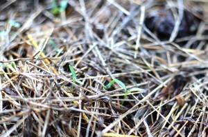 コリアンダー(パクチー)発芽