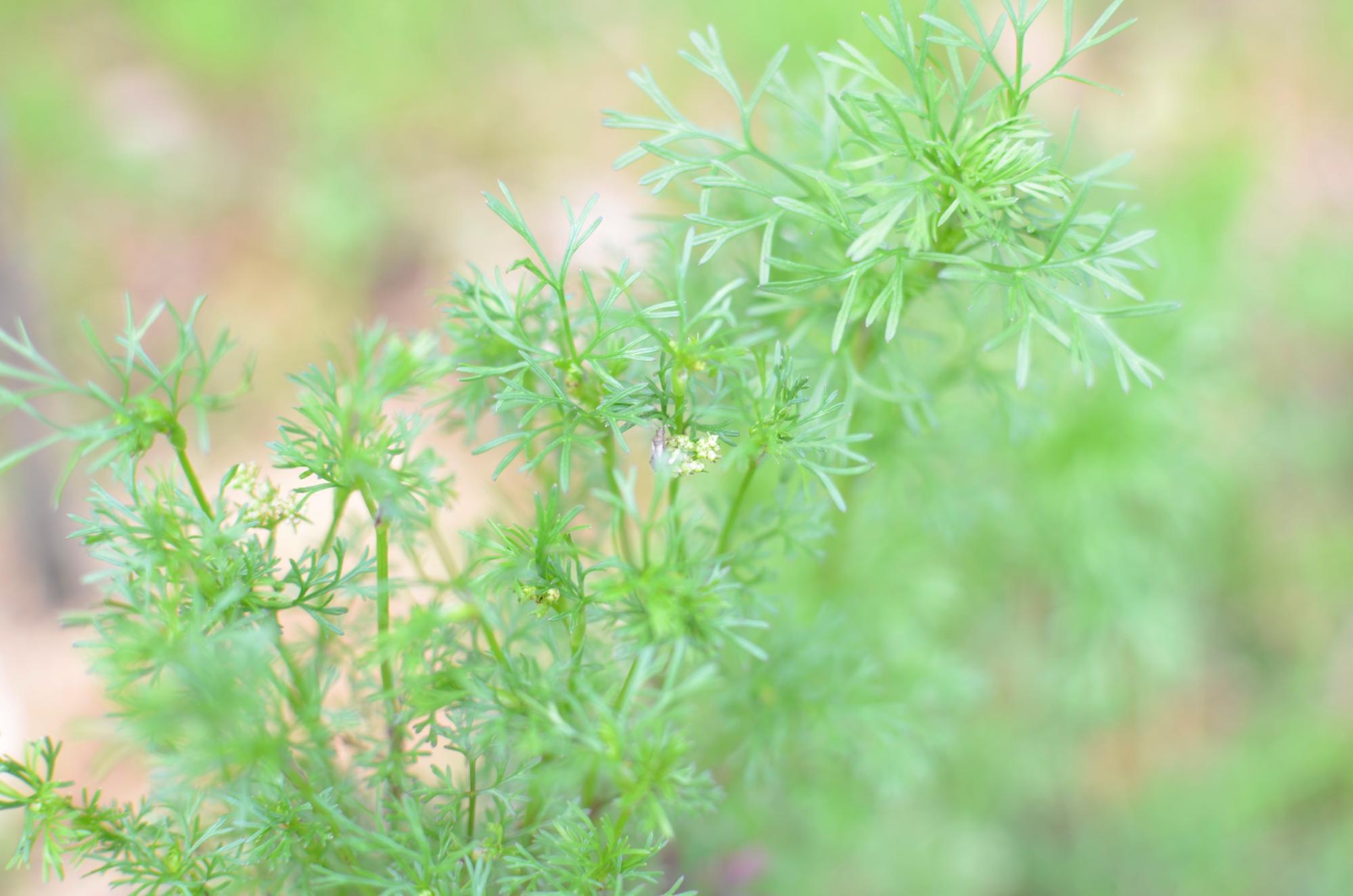 コリアンダー(パクチー)の花