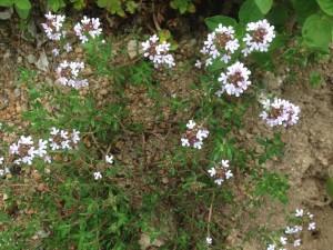 国産ハーブティー タイムの花