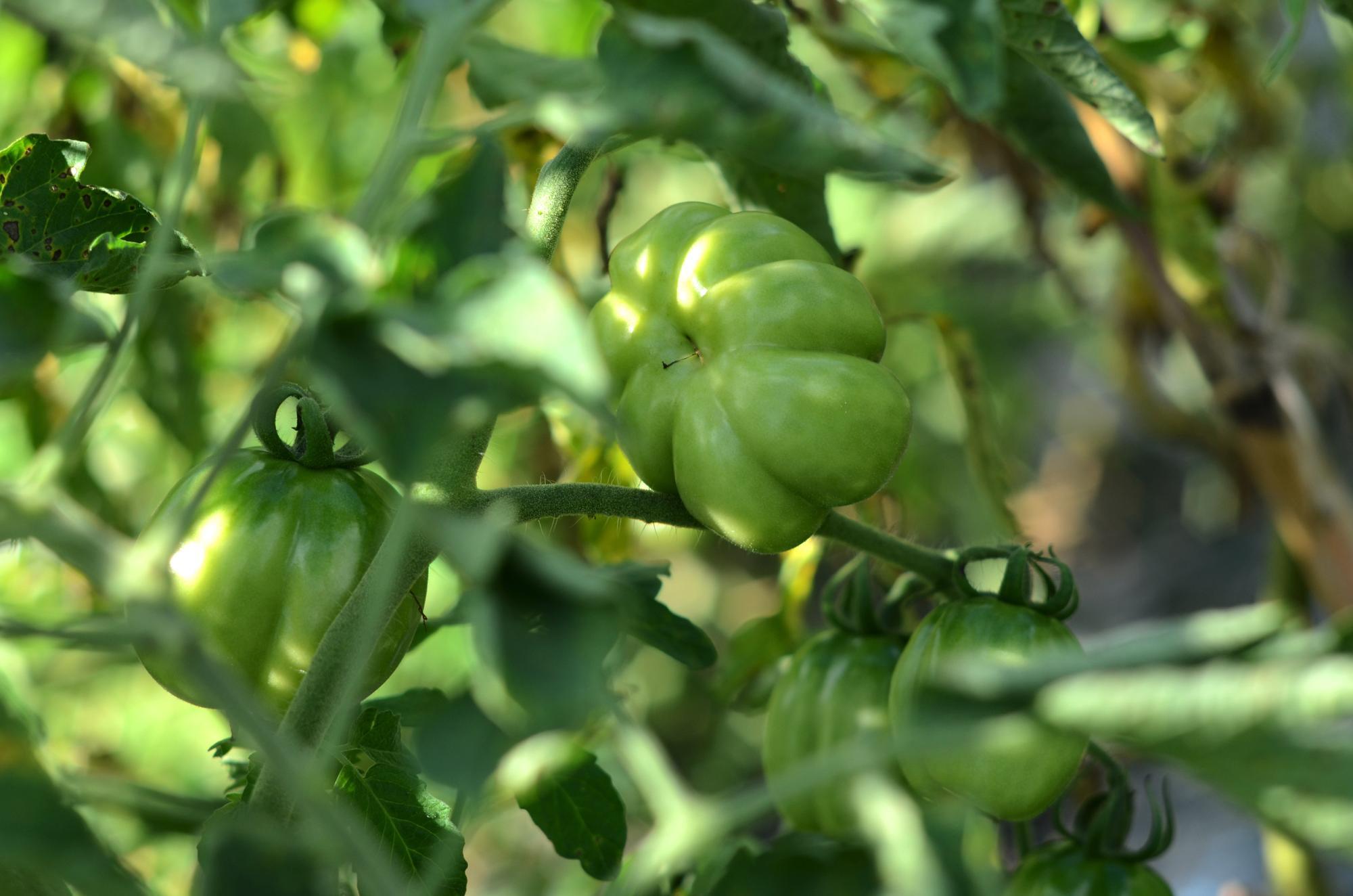 クオーレ・ディ・ブエ トマト