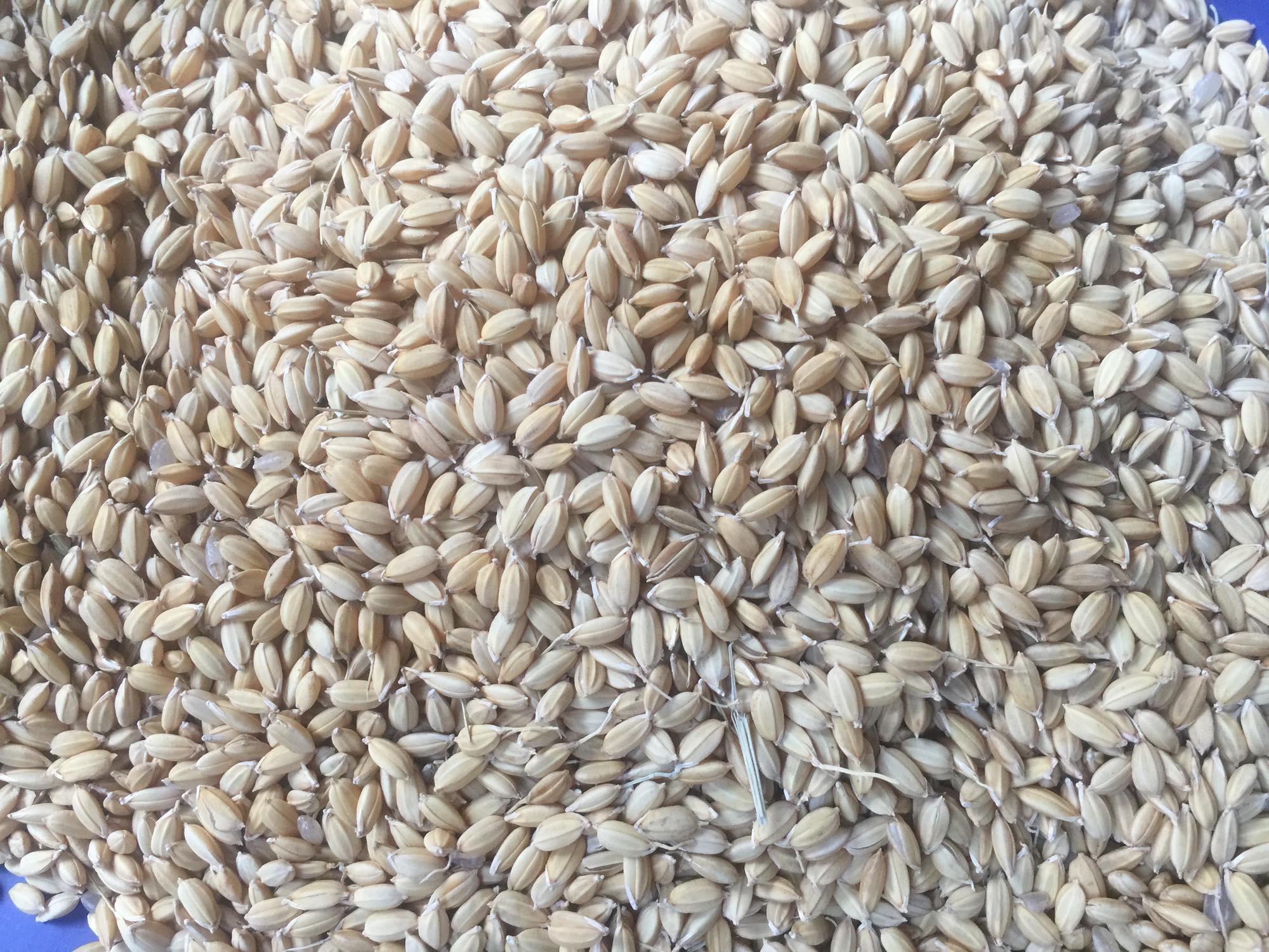 お米の種まき