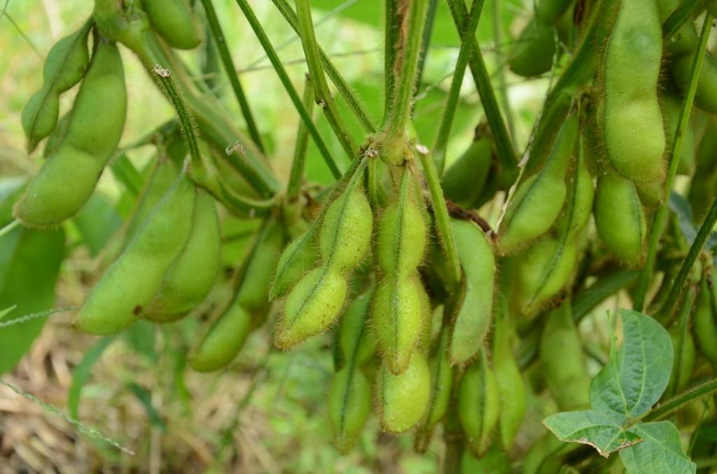 大豆収穫喜び