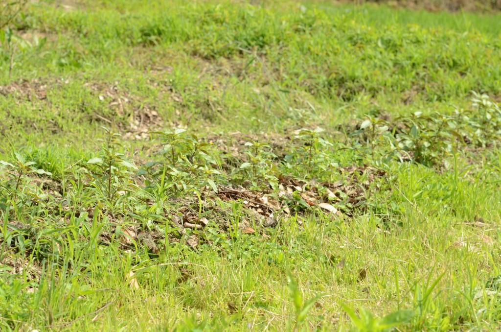 福岡県東峰村産トゥルシー ホーリーバジルの栽培
