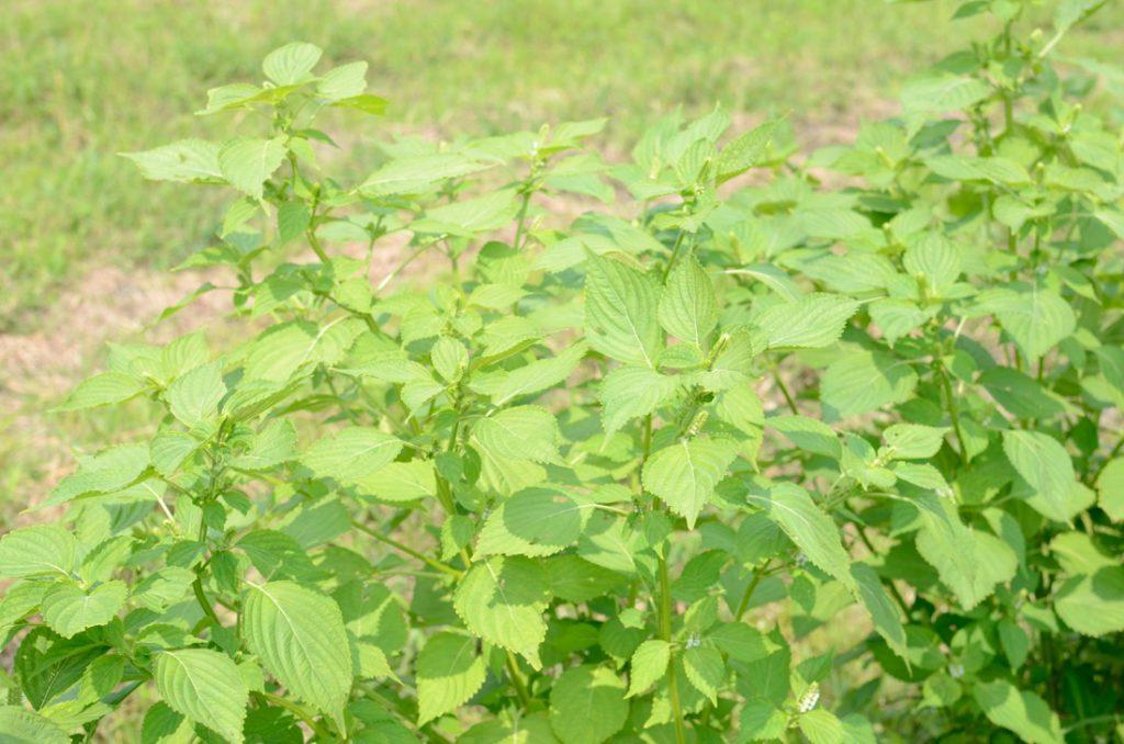 東峰村の荏胡麻の葉