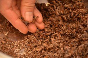 荏胡麻の種採り