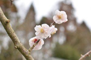 東峰村小石原の梅の花