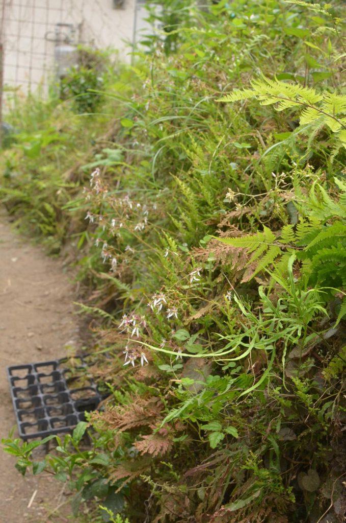 東峰村田舎暮らし勝手口の植物