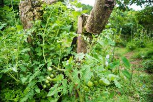 自家採取トマトの栽培