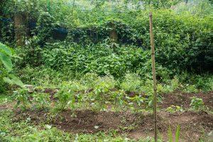 トゥルシー(ホーリーバジル)と唐辛子の栽培