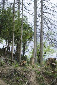 巻き枯らしの杉