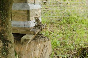 日本みつばちの分蜂