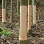 杉の巻き枯らしと活用 保水力のある山へ