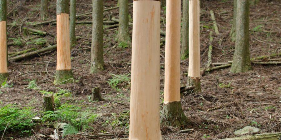 杉の巻き枯らし間伐