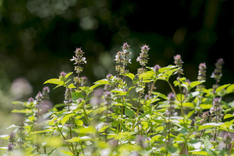 トゥルシー(ホーリーバジル)の花