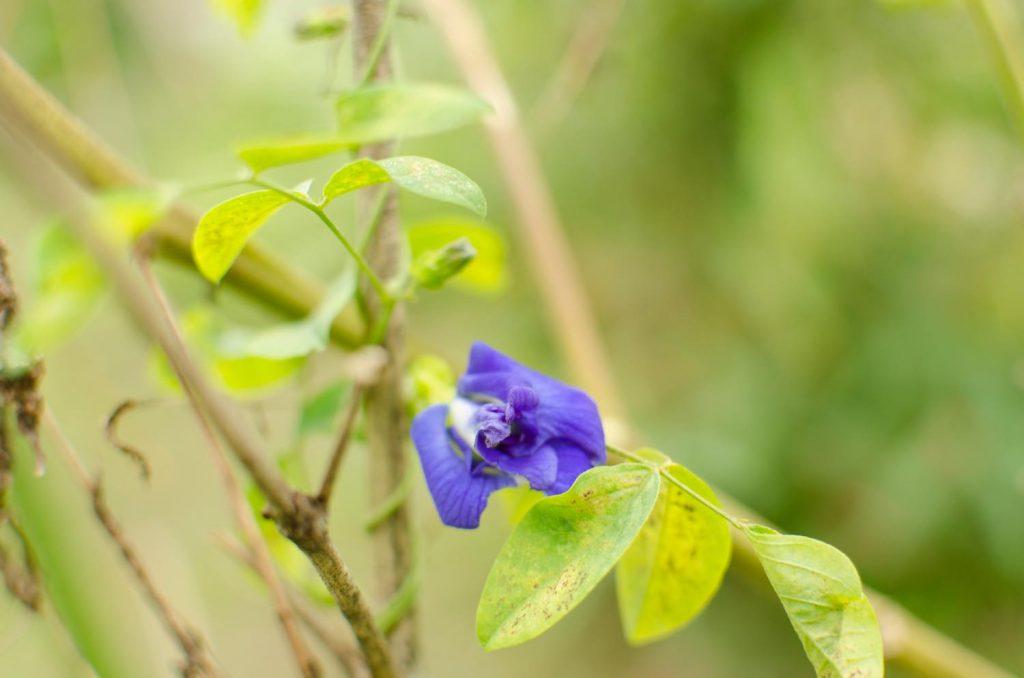 バタフライピー(ちょうまめ)の花