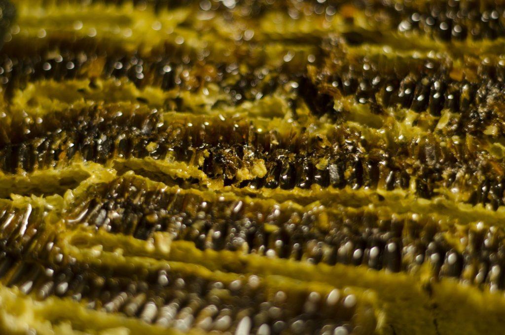 日本蜜蜂の採蜜